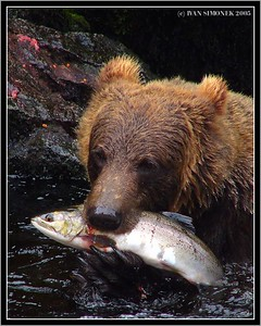 """THE END OF A JOURNEY 2"", a brown bear and salmon, Anan Creek, Alaska, USA-----""KONEC PUTOVANI 2"", hnedy medved a losos, Anan Creek, Aljaska, USA."