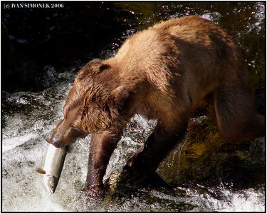 """THE END OF A JOURNEY 3"", a brown bear eating salmon, Anan creek, Alaska, USA-----""KONEC PUTOVANI 3"", hnedy medved zere lososa, Anan creek, Aljaska, USA."