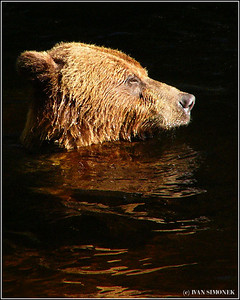 """SERIOUS BUSINESS"", a brown bear enjoying water and the setting sun, Anan creek, Alaska, USA."