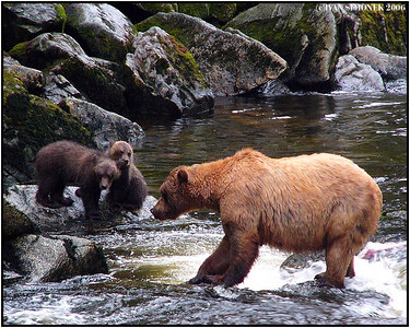 """FISHING LESSON"", brown bears, Anan creek, Alaska, USA-----""LEKCE V RYBARENI"", hnedi medvedi, Anan creek, Aljaska, USA."