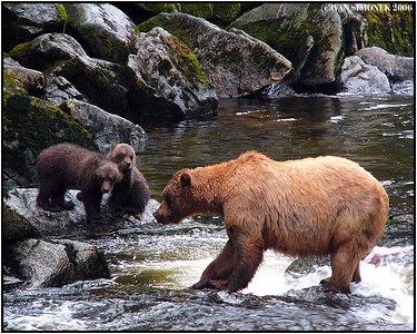 """FISHING LESSON"", brown bears, Anan creek, Alaska, USA-----""LEKCE V RYBARENI"", hnedi medvedi, Anan creek, Aljaska, USA."