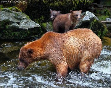 """""""HURRY UP MOTHER"""",Brown bears,Anan creek,Alaska,USA."""