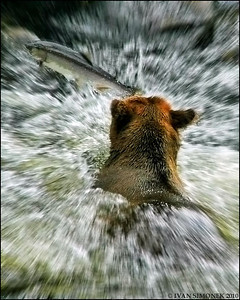 """THE GREAT ESCAPE"",a Brown bear chasing salmon,Anan Creek,Alaska,USA."