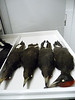 29 - Collection of Woodpecker rounds -- immature Ivory-billed Woodpecker