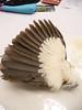 28 - Underside of Pileated Woodpecker wing.