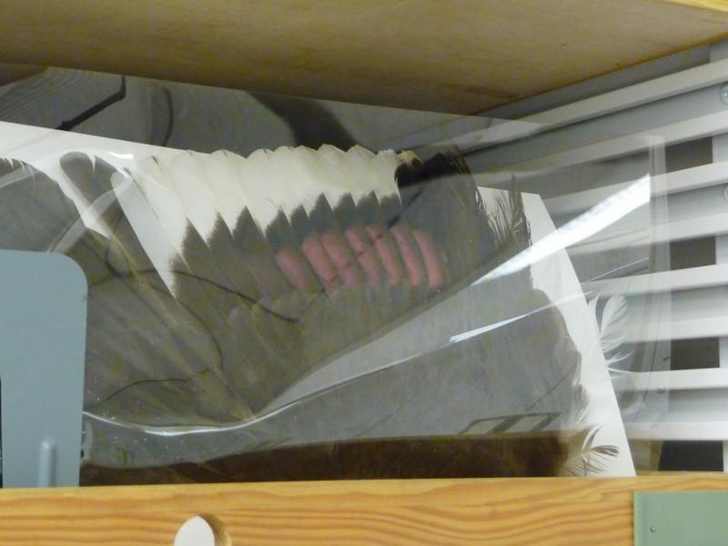 "1 - Wings at Burke are preserved (1) in drawer (2) in plastic ?  -- filed ""folder"" like in catalogs.  ( specimen ? )"