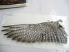 17 -Peregrine Falcon wing underside.  Wingspan ranges from 31 to 47 inches, males 30% smaller than females.