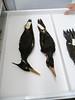 30 - Ivory-billed Woodpecker