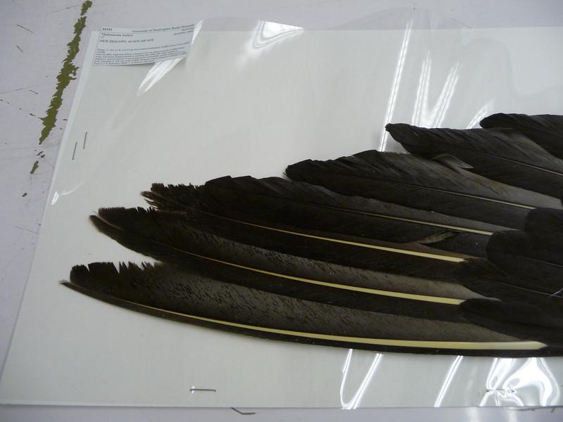 7 - Buller's Albatross or Buller's Mollymawk, Thalassarche bulleri.  Notable yellow shafted primaries.