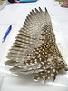 21 - Peregrine Falcon, female. Underwing view.