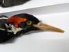 33 - Closeup of Ivory bill - male.