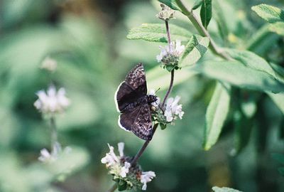 April 2004 Funereal Duskywing. (Erynnis funeralis). Eaton Canyon Natural Area, San Gabriel Mountains, CA