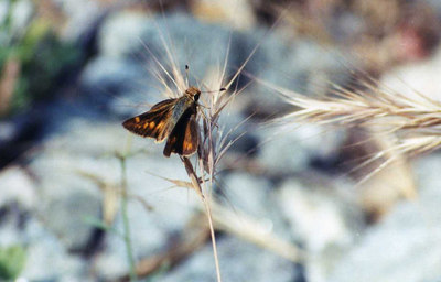 CommonBrandedSkipper18MAY2001001