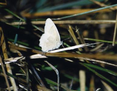 8/20/03 Great Arctic? (Oeneis nevadensis). Link River Nature Trail, Klamath Falls, Klamath County, Oregon