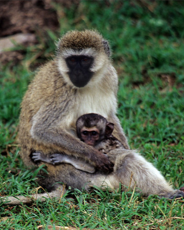 Blue faced vervet monkey comforts 2 day old