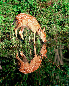 Fawn drinks while admiring reflection