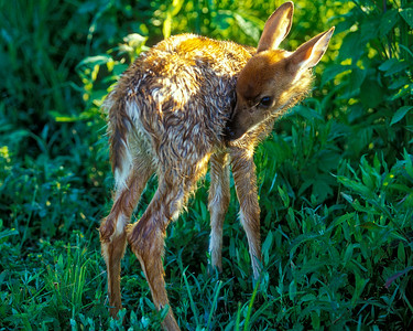 Four week old fawn in backlighting.  Captive