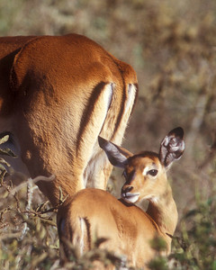 Impala baby stays with mom in Kenya, Africa