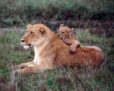 Lion cub nips mother's back