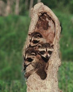 Racoons in tree.  Captives, several weeks old.