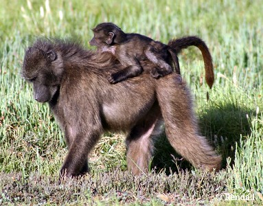Chacma Baboon... Baby on board