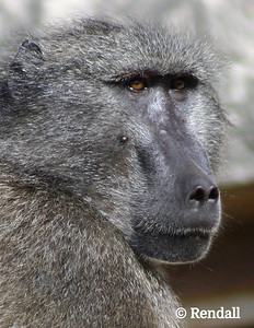 Portrait of a baboon - Gandalf