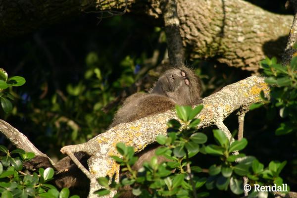 Chacma baboon... soakin' up the sun