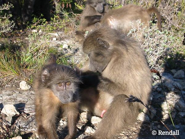 Chacma baboon... grooming