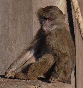 Baboons in Copenhagen Zoo.  Photo: Martin Bager.