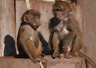 Baboons in Copenhagen Zoo.  Photo: Martin Bager.