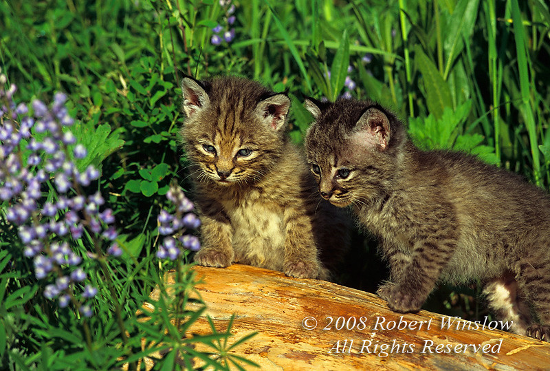 Two Bobcat Kitten, Lynx rufus, Controlled Conditions
