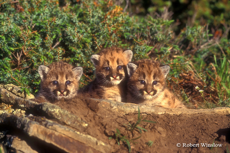 Three Mountain Lion Kittens (Felis concolor), controlled conditions