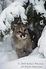 Mountain Lion Kitten, Felis concolor, Winter, Snow, controlled conditions