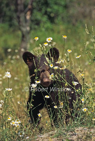 Black Bear Cub Amid Daisies, Ursus americanus, Controlled Conditions