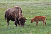 Mother and Baby Bison or American Buffalo, Bison bison, Yellowstone National Park, Wyoming, United States, North America