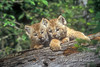 two Kittens, Lynx also called Canadian Lynx, Lynx canadensis, controlled conditions