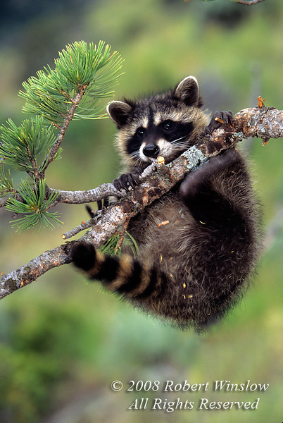 Raccoon, Procyon lotor, Hanging from a Tree Branch, Autumn, United States, North America, Controlled Conditions