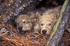 Two Resting Young Gray Wolf Pups, Canis lupus, Controlled Conditions