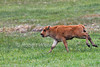 Running Baby Bison or American Buffalo, Bison bison, Yellowstone National Park, Wyoming, United States, North America