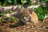 Baby Bobcat, Lynx rufus, Controlled Conditions
