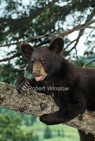 Black Bear Cub In a Tree, Summer, Ursus americanus, Controlled Conditions