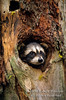 Baby Raccoon, Procyon lotor, Looking out through a Hole in a Tree Trunk, United States, North America, Controlled Conditions