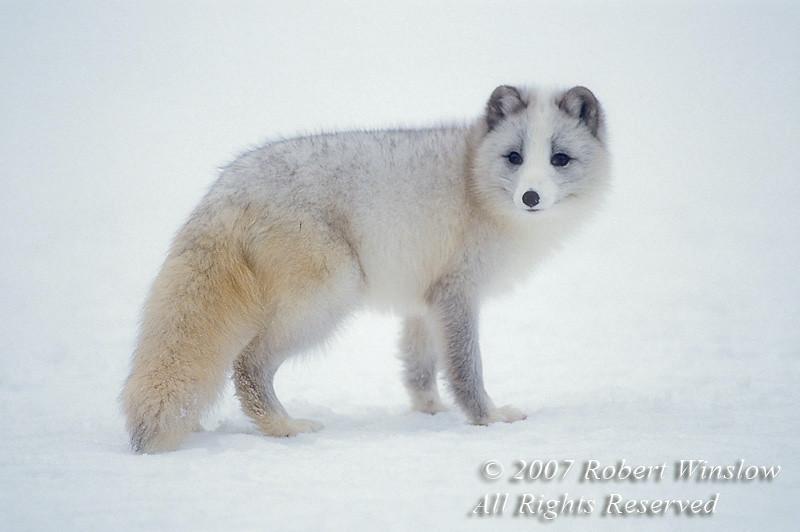 Juvenile Arctic Fox, Alopex lagopus, Fall Coat, controlled conditions