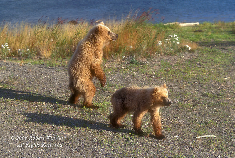 Two Alaskan Brown Bear cubs (Ursus arctos)  Brooks River, Katmai National Park, Alaska