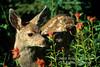 Mule Deer Fawn, Odocoileus hemionus, amid Wildflowers, Montana, USA, North America