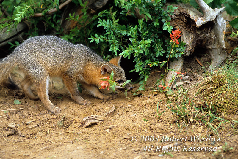 Gray Fox Kit at a Den site, Biting on a Flower, Young are also called Pups or Cubs, Urocyon cinereoargenteus, Controlled Conditions