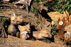 Three Red Fox Kits at a Den site, Young are also called Pups or Cubs, Vulpes vulpes, Controlled Conditions