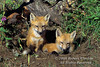 Two Red Fox Kits at a Den site, Young are also called Pups or Cubs, Vulpes vulpes, Controlled Conditions
