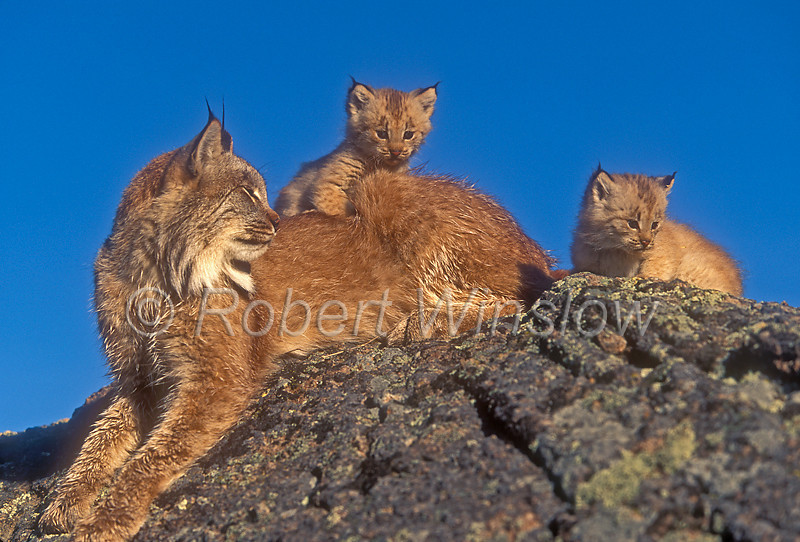 Mother with two Kittens, Lynx or Canadian Lynx, Lynx canadensis, controlled conditions