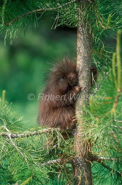 Young North American Porcupine, Erethizon dorsatum, Controlled Conditions